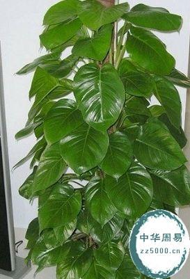 风水植物绿萝怎么养
