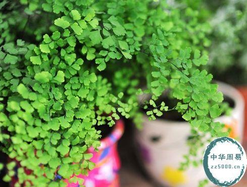 铁线蕨打造健康风水家居