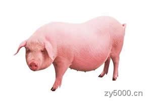 《十二属相》豬